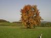 Mostbirnbaum im Herbst