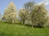 Baumblüte bei Eberstadt