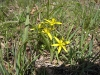 Wald-Gelbstern